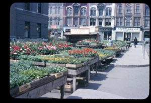 Raised wooden tables host bedding plants for sale streetside in the Old Market Square.