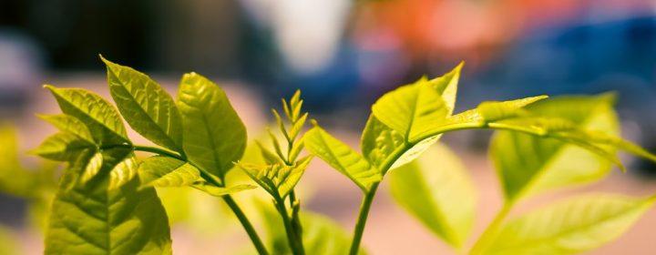 budding-leaf